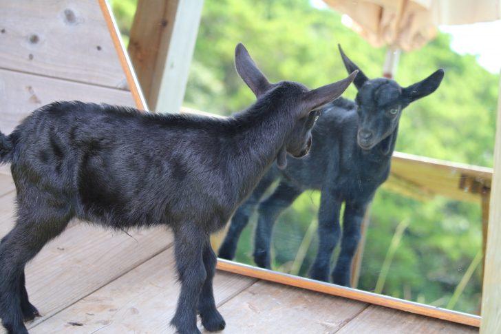鏡を見つめる小ヤギ