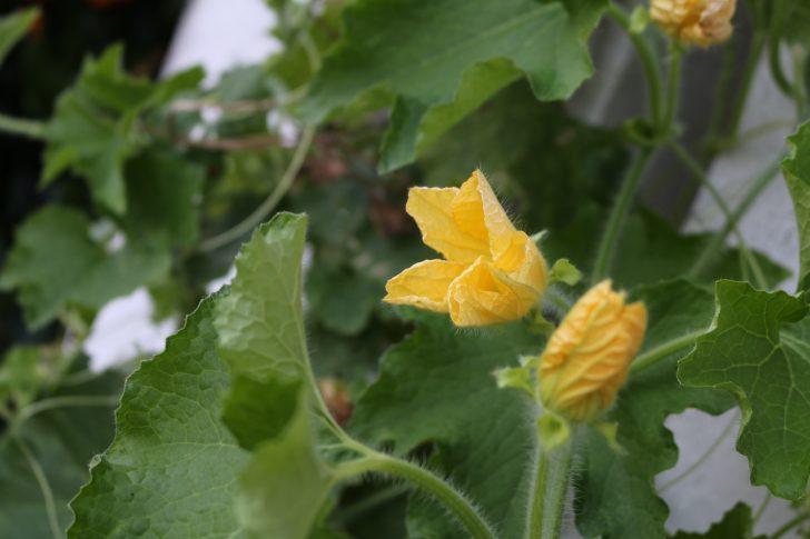 冬瓜の花1