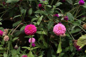 二つ並んだぼたん花
