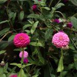 並んで咲くお花