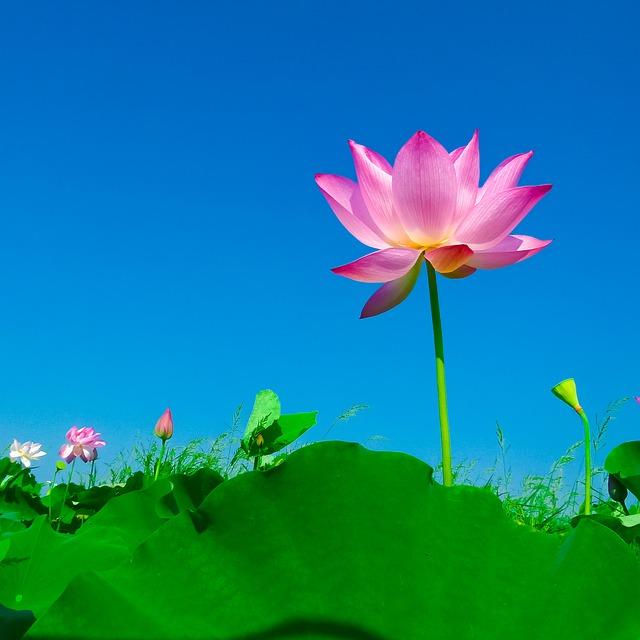 青空に咲く蓮