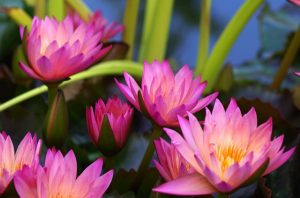 開花する蓮の花の群れ