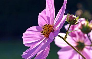大きく開いたコスモスのピンクの花