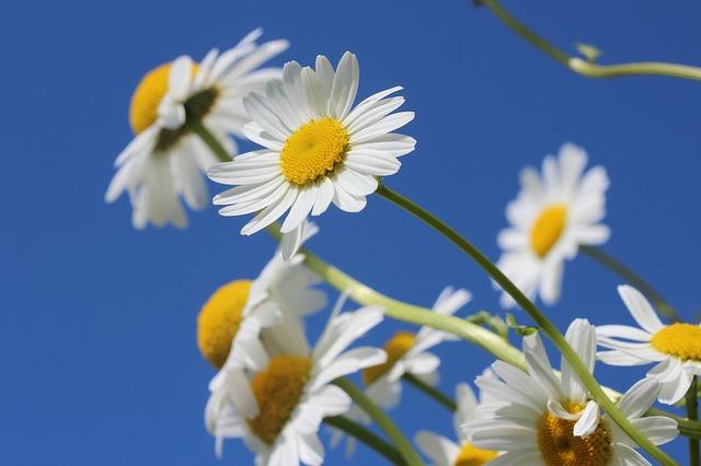 太陽に向かって咲くヒナギクの花