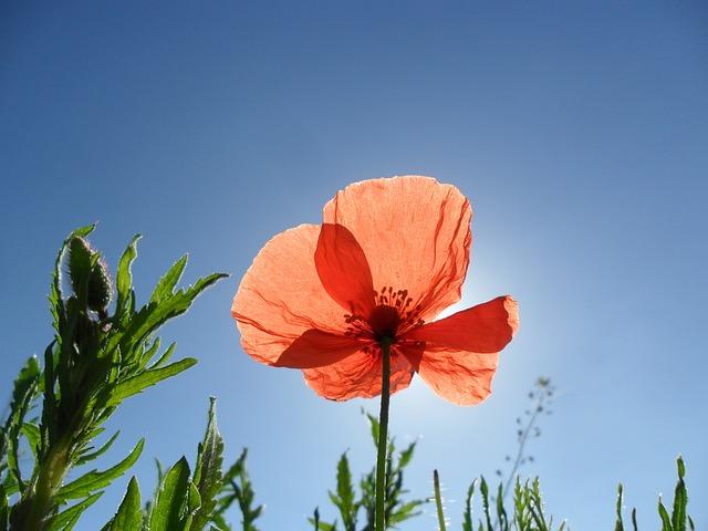 太陽に向かって咲くオレンジ色のポピー