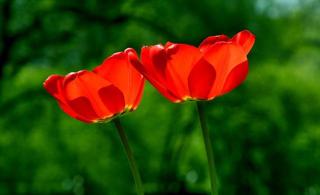 綺麗に咲いたまっかなチューリップの花