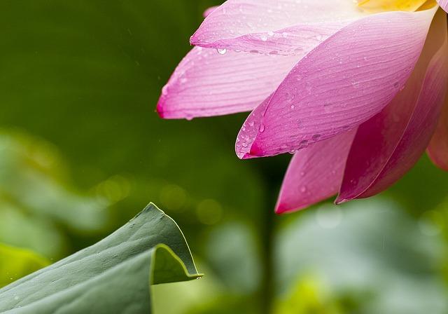 朝露に濡れたピンクの蓮の花