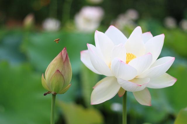 蓮の花と蕾