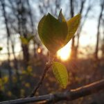 芽吹く木の芽と朝陽