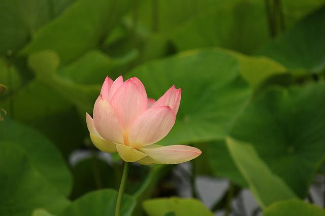 風に吹かれて揺れる蓮の花
