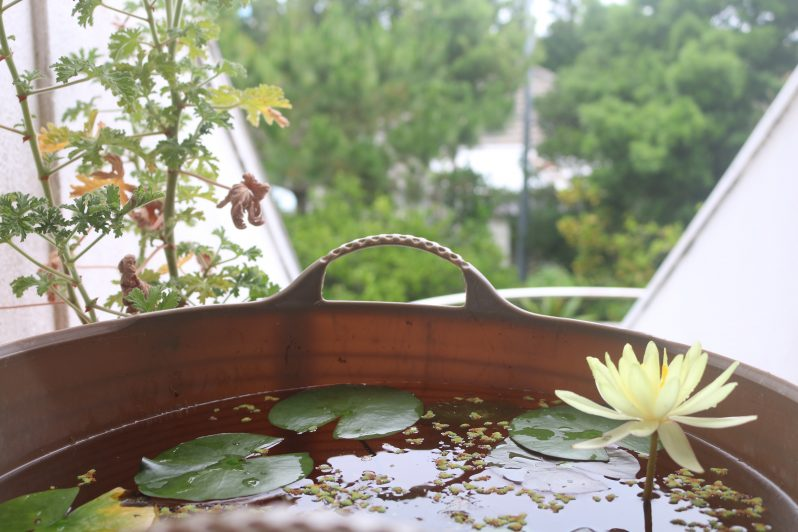 綺麗に咲いた満開の蓮の花