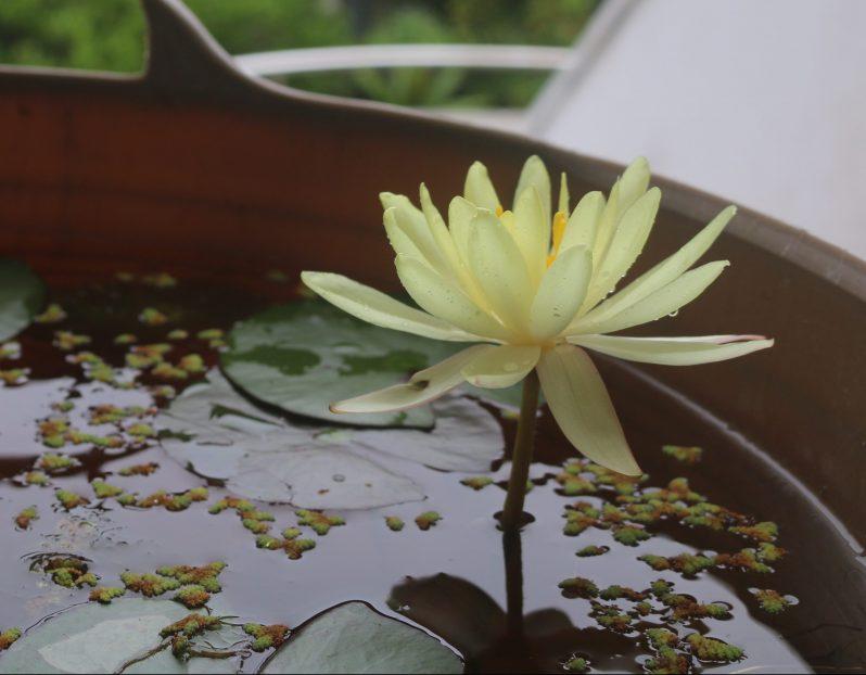 黄色い蓮の花